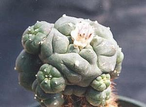 Lophophora williamsii, grafted