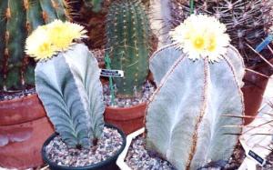Astrophytums myriostigma