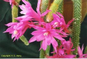Disocactus flagelliformis