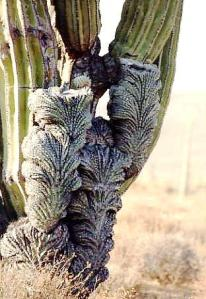 Pachycereus pringlei cristata