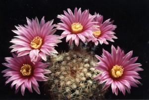 Echinocereus adustus