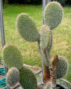 Opuntia species