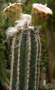 Cephalocereus palmeri