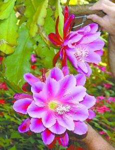 Epiphyllum hybrid - name unknown
