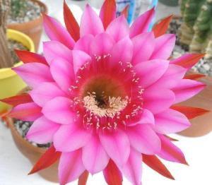 Schick Echinopsis hybrid 'Oracle'
