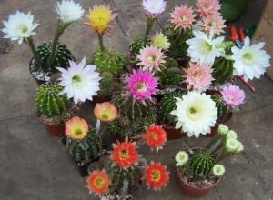 Echinopsis assortment