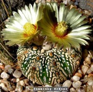 Astrophytum 'Superkabuto'