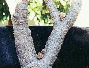 Crassula ovata 'Pink Beauty' (bark and stem)