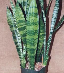 Sansecieria trifasciata 'Black Gold'