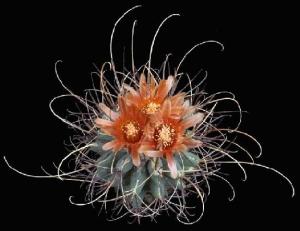 Sclerocactus (Ancistrocactus) uncinatus