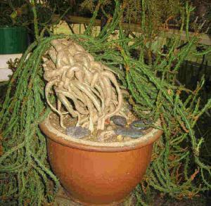 Euphorbia knuthii ssp. knuthii