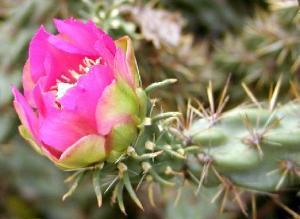 Cylindropuntia (Opuntia)