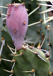Opuntia engelmannii (tardospina) fruit