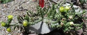 Cylindropuntia (Opuntia) whipplei