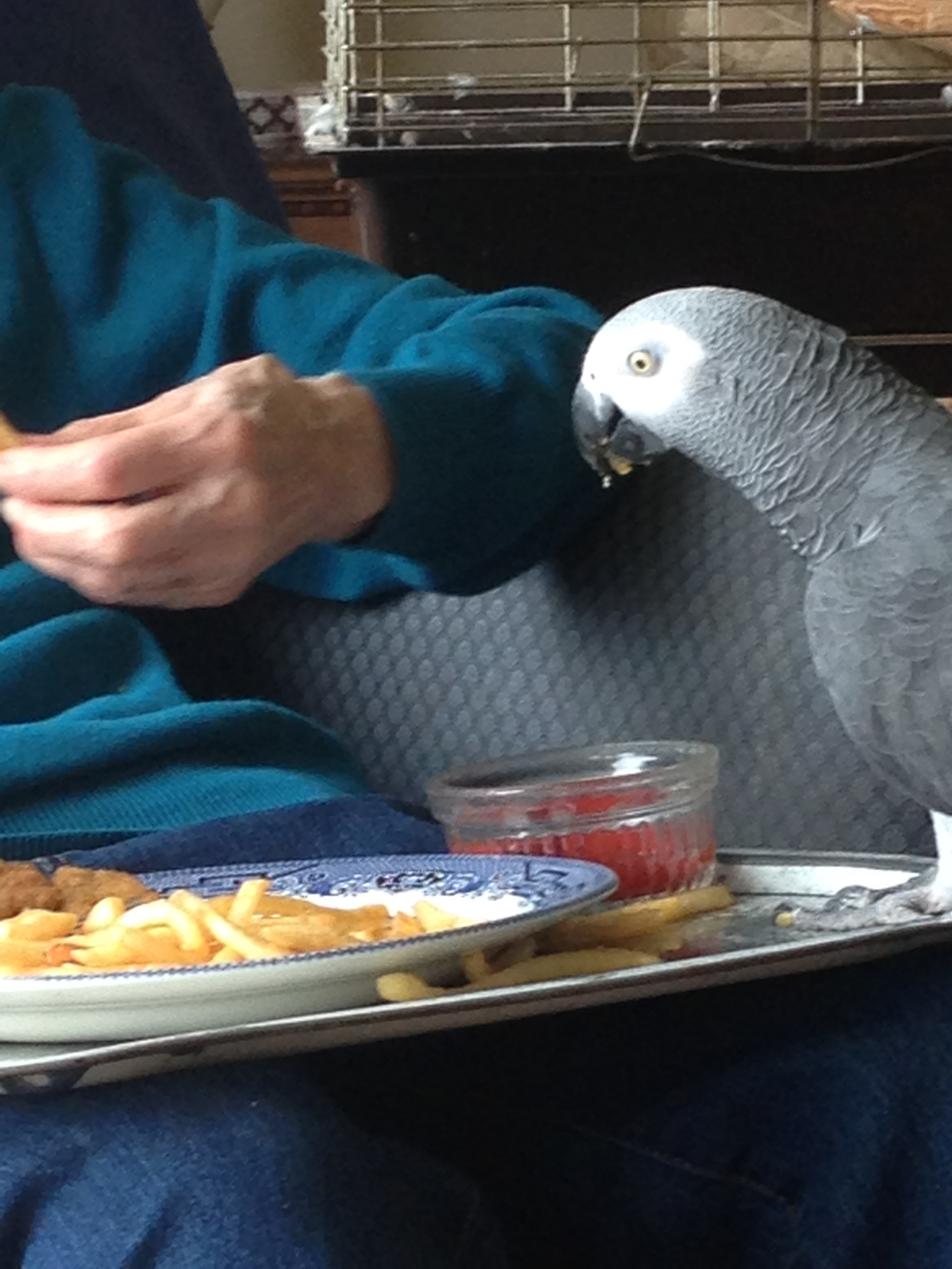 Marina Welham hand-feeding BB, her beloved parrot, an African grey