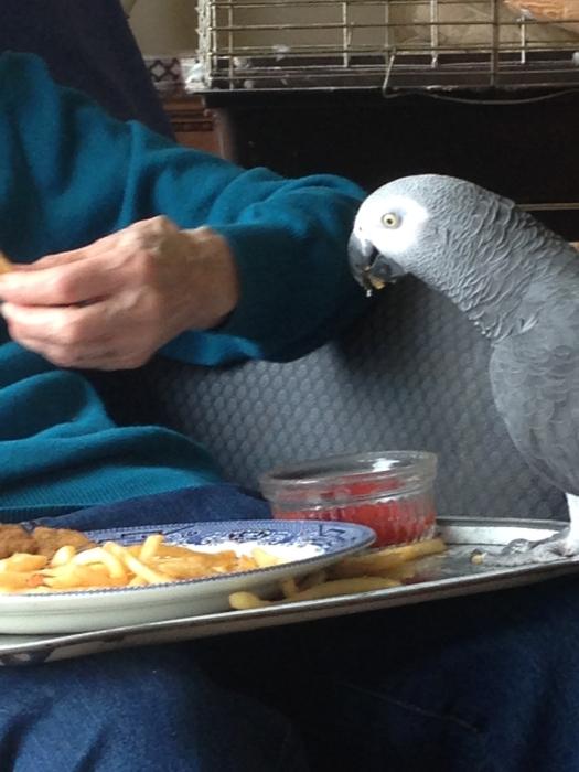 Marina Welham hand-feeding BB, her beloved parrot, an African grey
