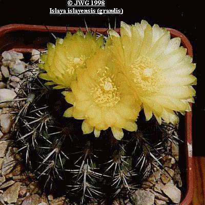 Eriosyce (Islaya) islayensis (grandis)