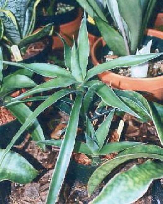 Sansevieria bagamoyensis