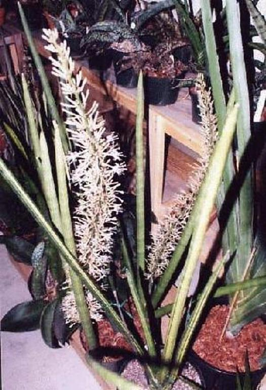 Sansevieria cylindrica, S. cylindrica 'Striated' and S. robusta