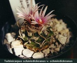 Turbinicarpus schmiedickeanus v. schmiedickeanus