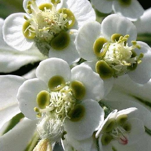 Euphorbia marginata flowers