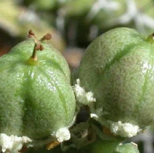 Euphorbia esculenta fruit
