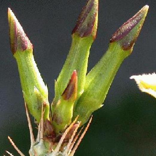 Pachypodium lealii ssp. saundersii flower buds.