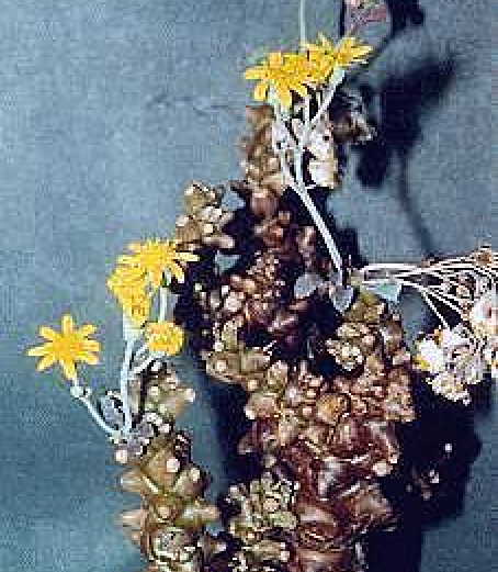 Othonnaherrei. Plant & Photo: Rosi & Jurgun Lenz, Australia