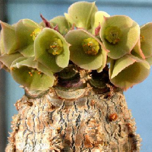 Euphorbia alfredii.  Plant, Photo & Comments: John Moran, USA