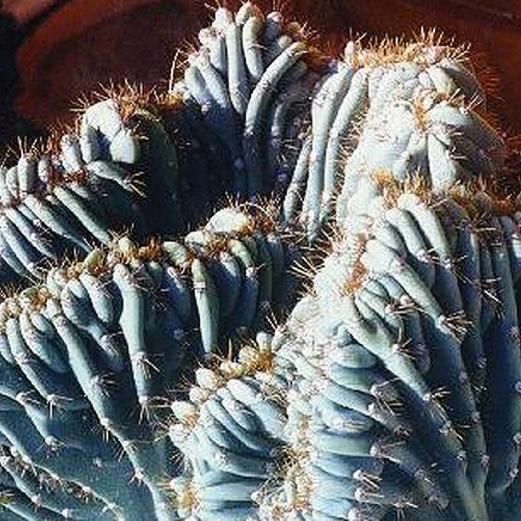 Cereus peruvianus. Plant & Photo: Angel Ramos, Hawaii