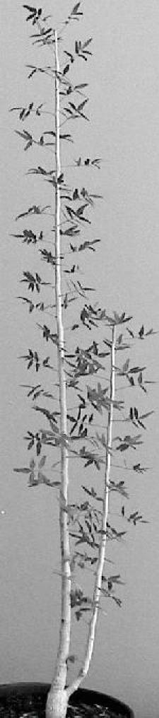 <i>Commiphora humbertii</i>. Photo: Andrea Randazzo, Italy