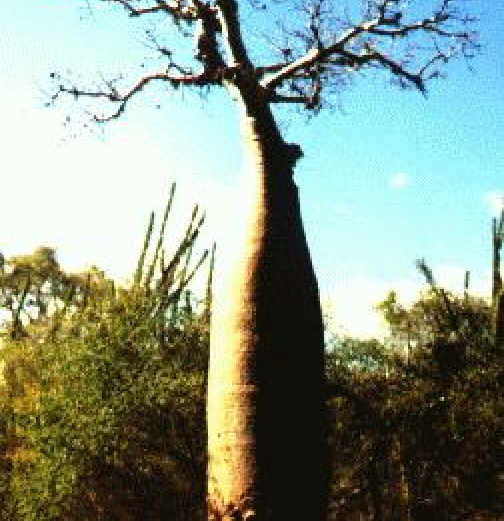 Photo:  Adansonia fony, (now Adansonia rubrostipa) taken 40 km north of Tulear, Madagascar by Robert Stephenson, Australia