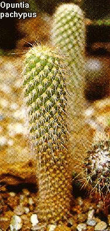 Photo of <i>Opuntia pachypus</I>from CACTI by Innes/Glass