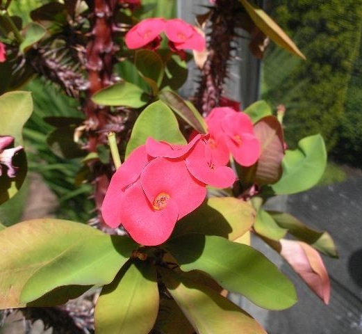 Photo:  Euphorbia milii (Thai hybrid with larger than normal flowers)  Credit:  Marina & Roy Welham