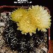 Islaya islayensis (grandis)