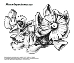 """Mesembryanthemaceae"" botanical illustration by artist Carla Wolters of Holland"