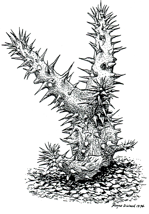 <i>pachypodium lamerei</i> by Royce D. Wood (1974)