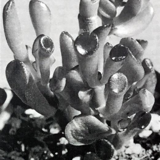 Crassula ovata 'Coral'